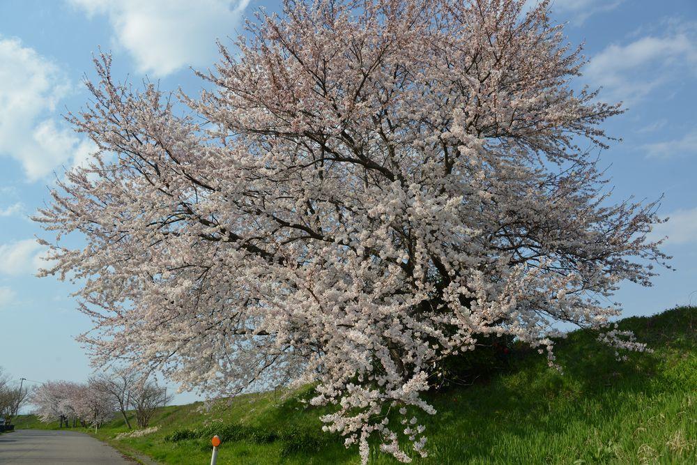 好きな桜-3
