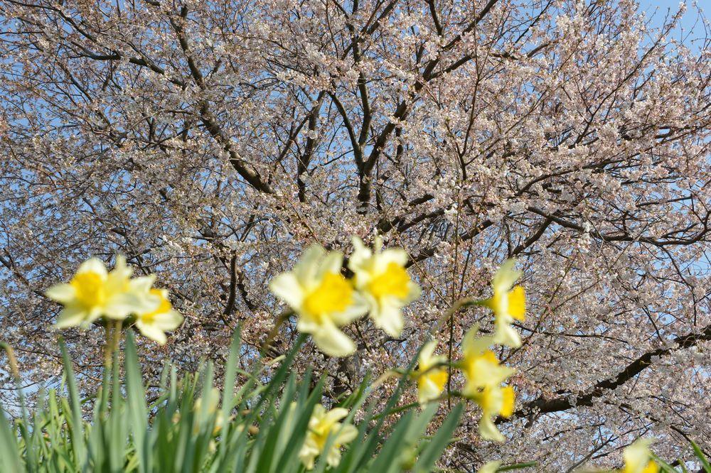 好きな桜 Ⅱ-2