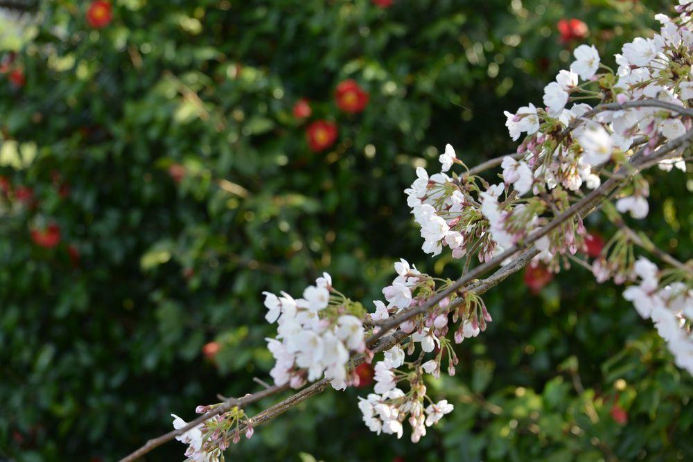 好きな桜 Ⅱ-3