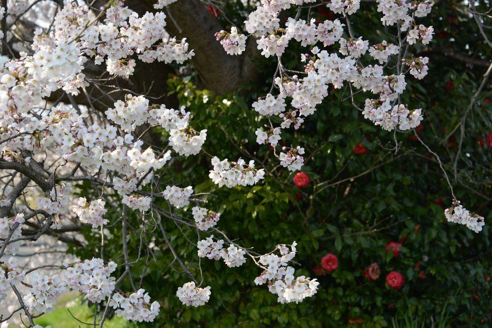 好きな桜 Ⅱ-4