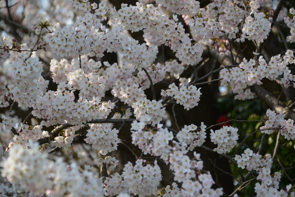 好きな桜 Ⅱ-5