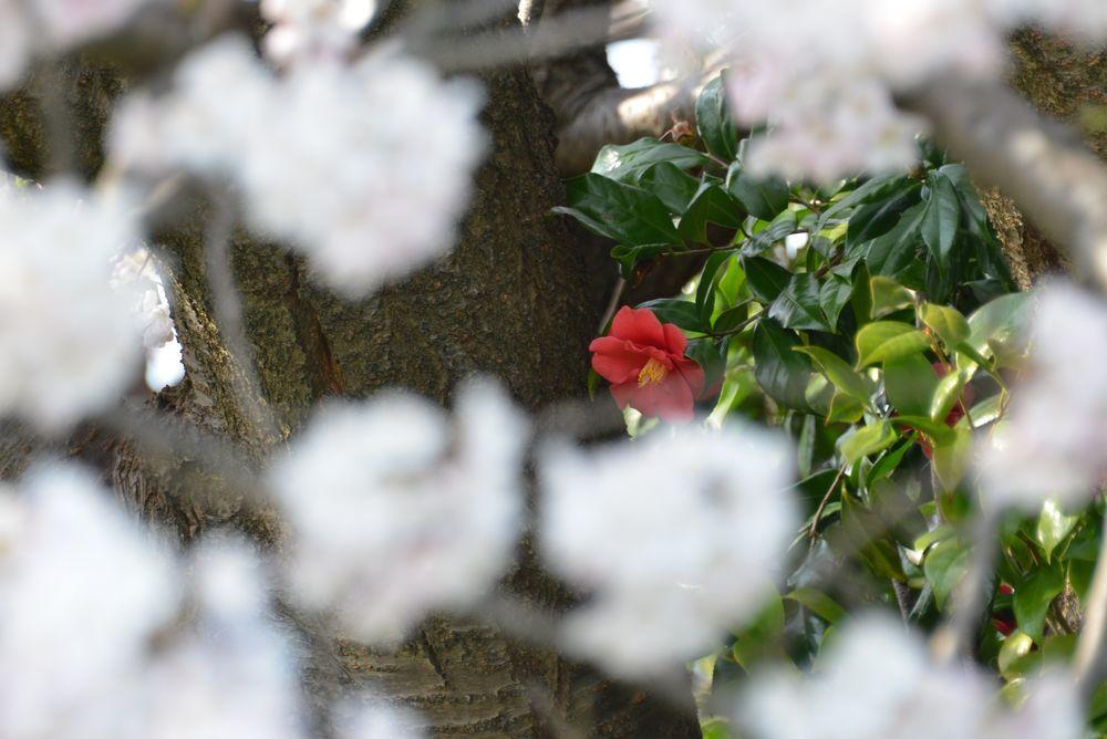 好きな桜 Ⅱ-7