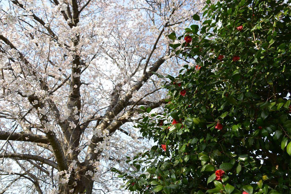 桜と椿-8