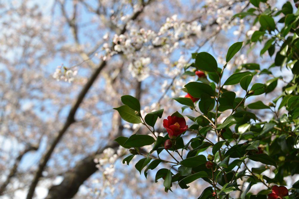 桜と椿-9