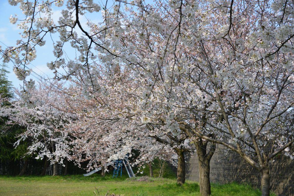桜のある宮-5