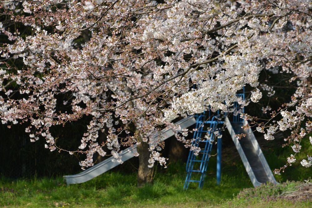 桜のある宮-4