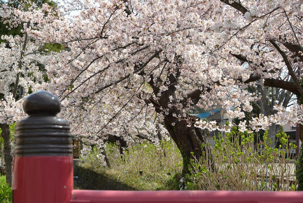 駅周辺の桜-1