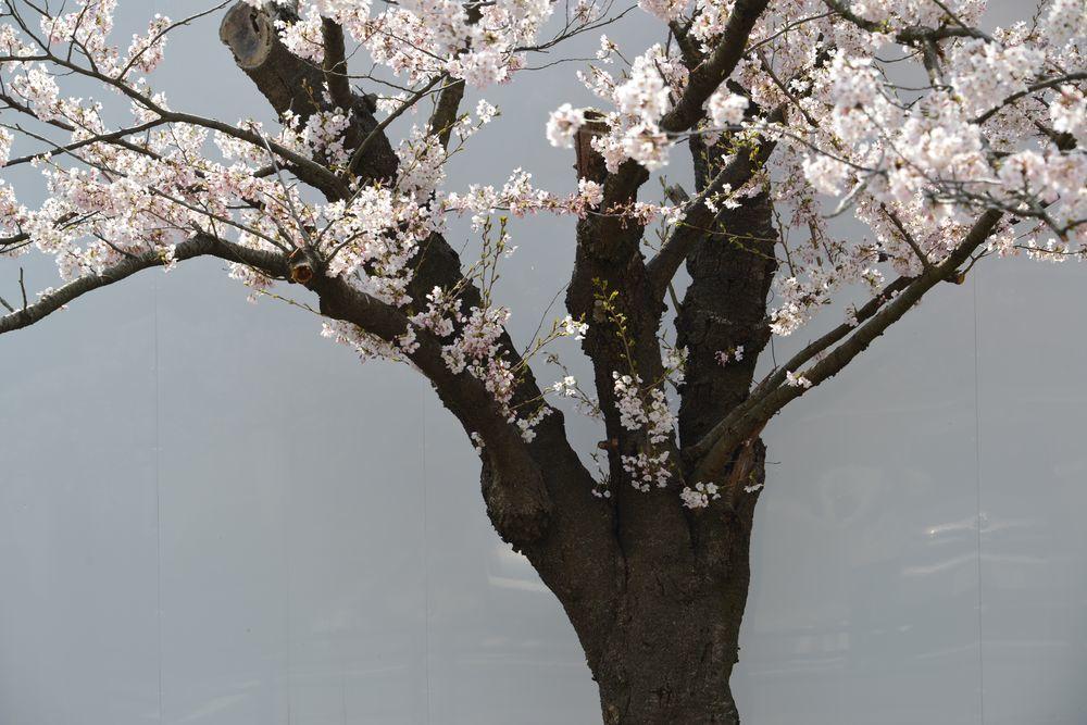 駅周辺の桜-6