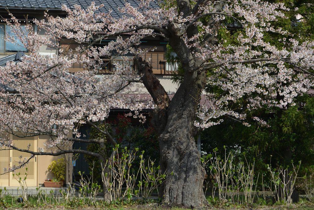 駅周辺の桜-2