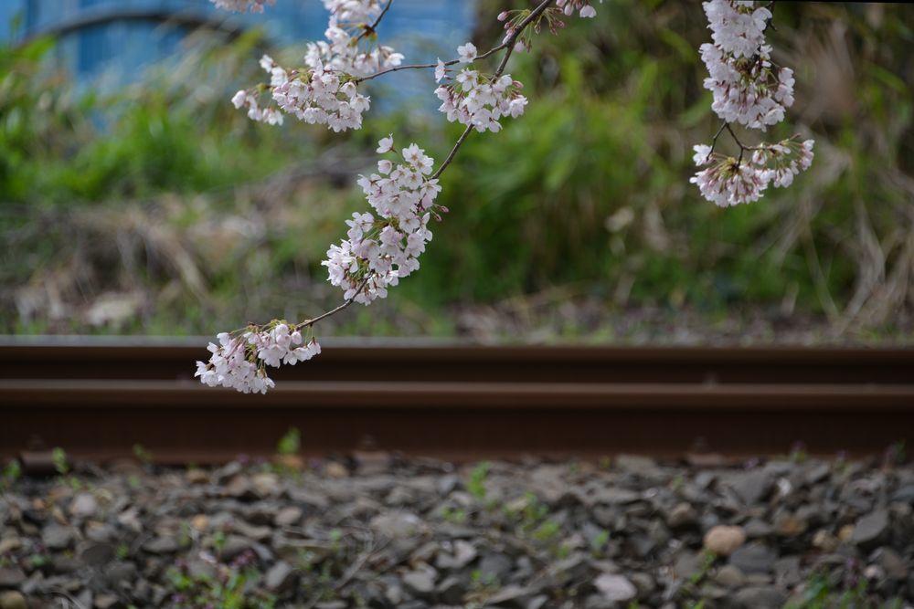 駅周辺の桜-5