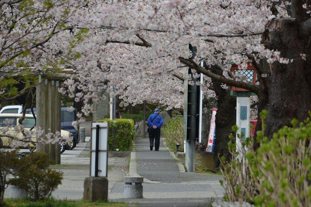 駅周辺の桜-3