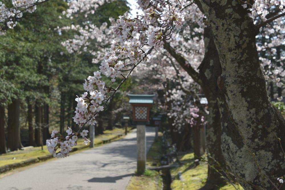 公園の桜-1