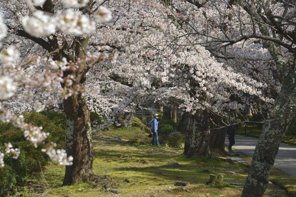 公園の桜-2