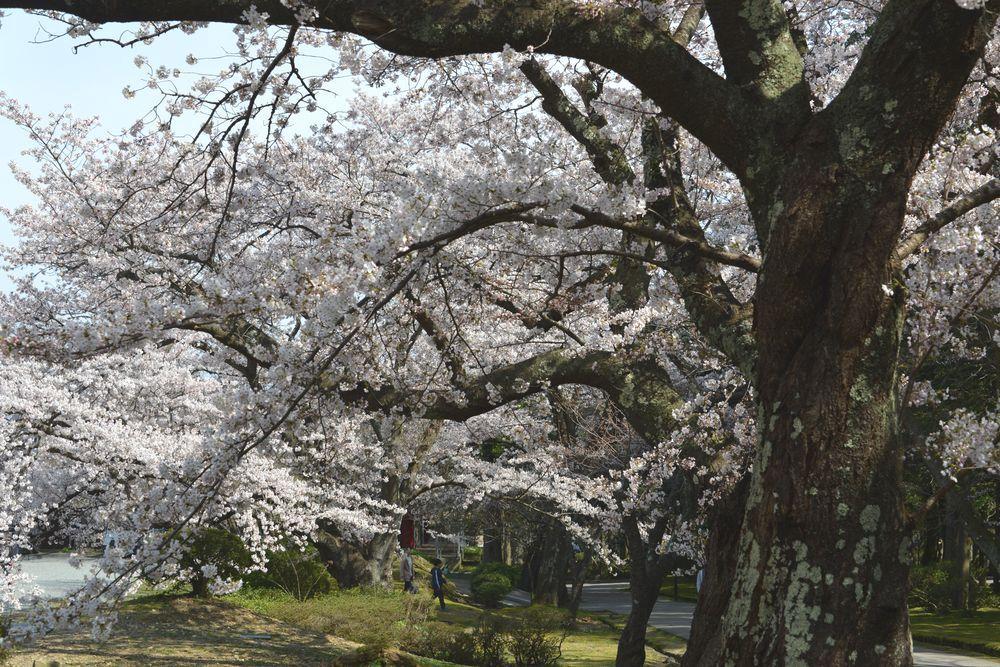 公園の桜-3