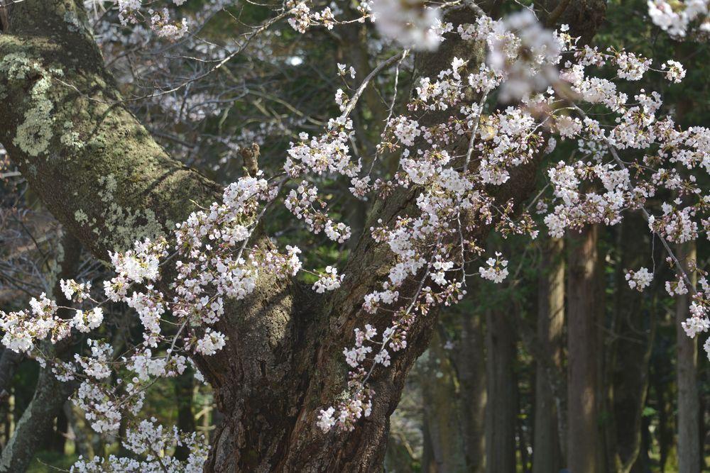 公園の桜-4