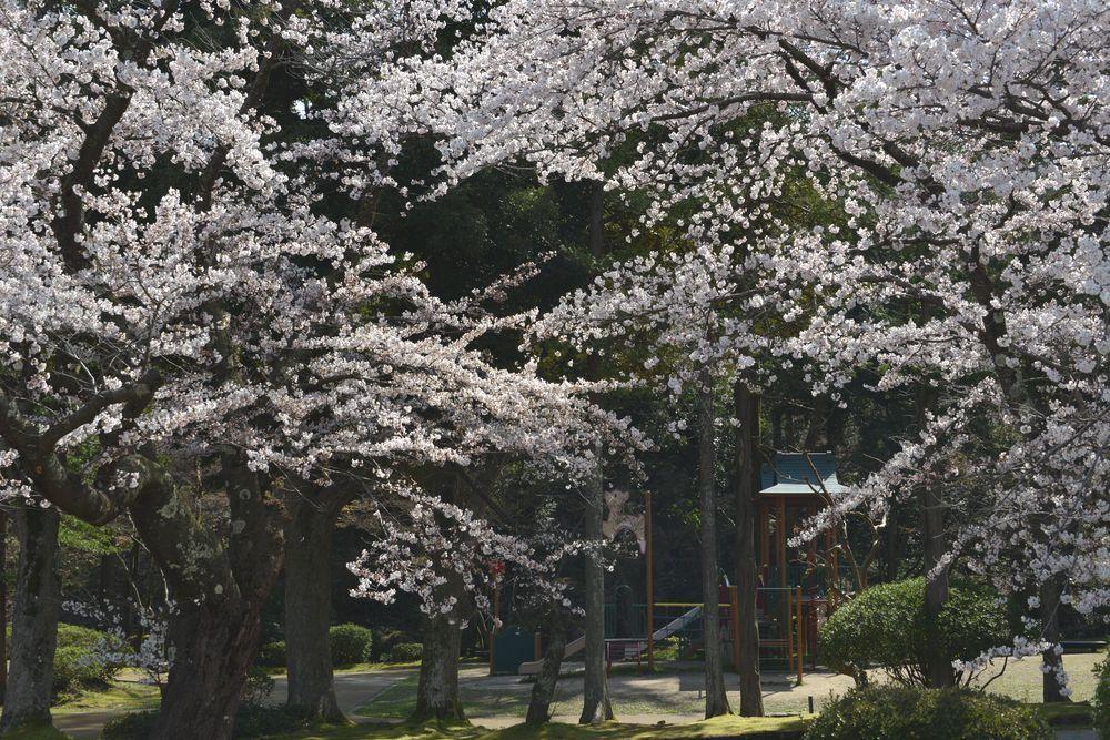 公園の桜-5