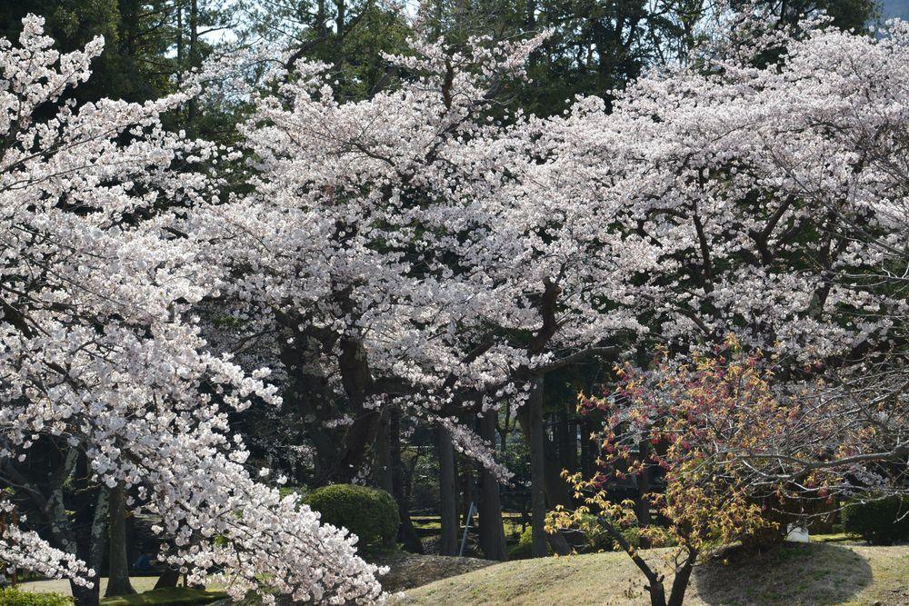 公園の桜-6