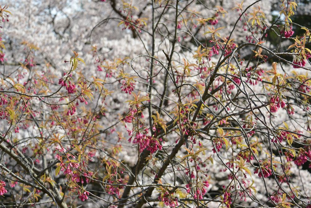 公園の桜-7