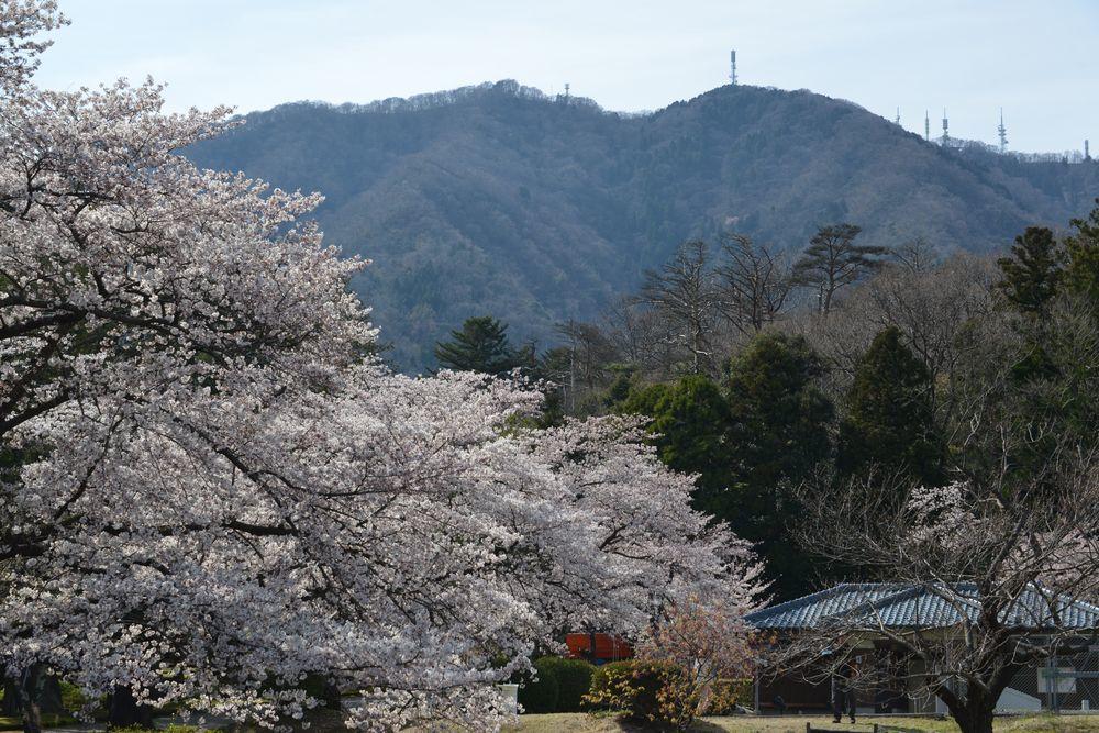 弥彦公園の桜-2