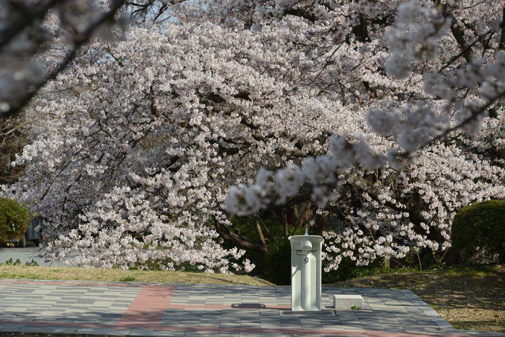 水飲み場と桜-1