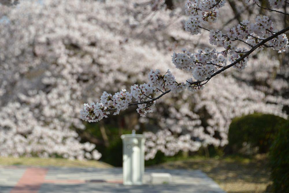 水飲み場と桜-2