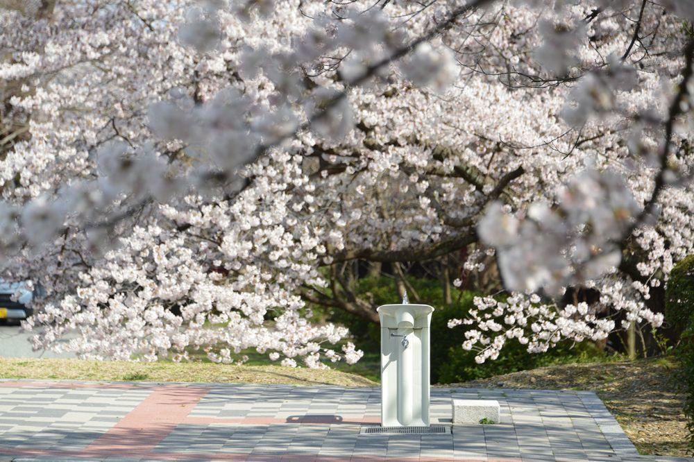 水飲み場と桜-3