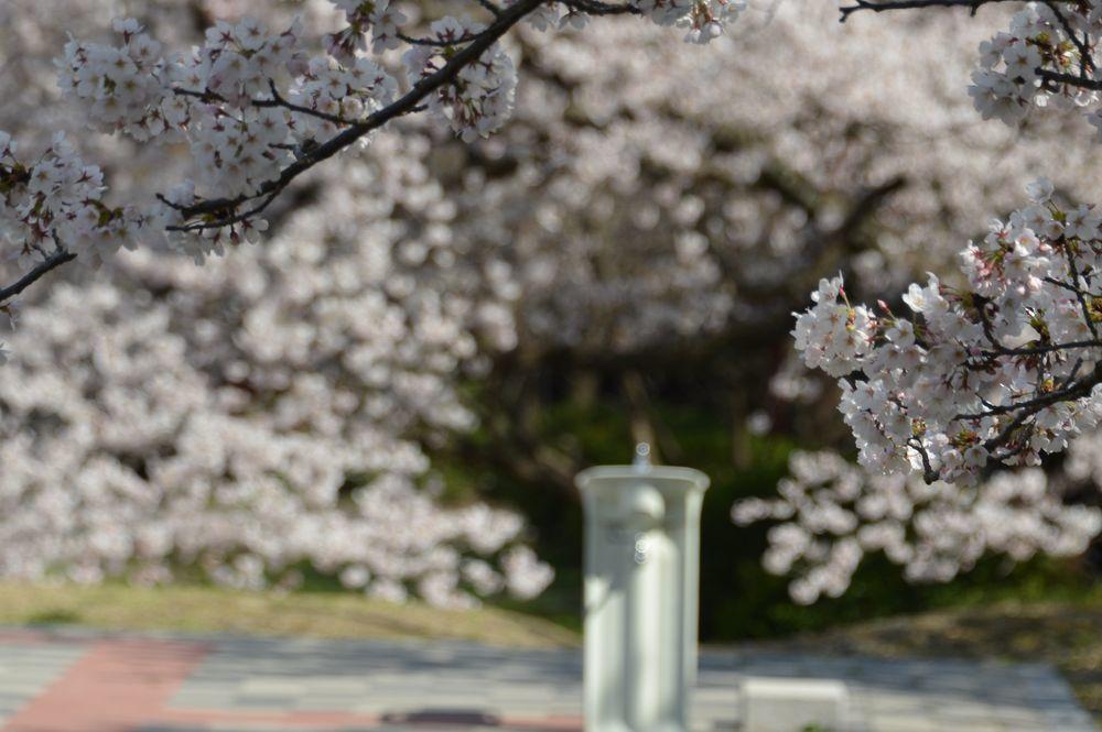 水飲み場と桜-5