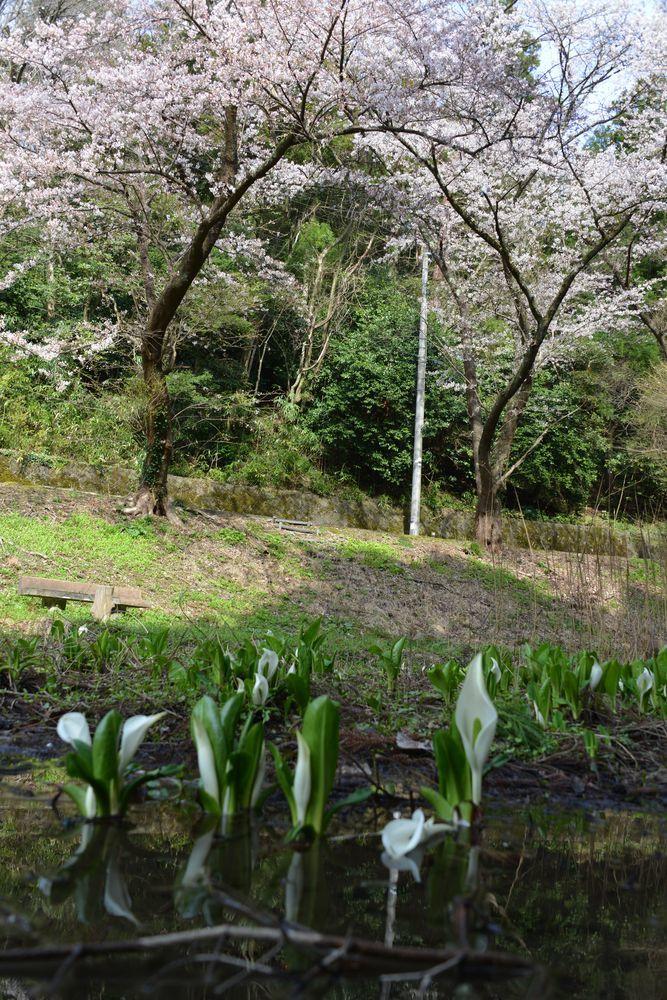 水芭蕉池と桜-1