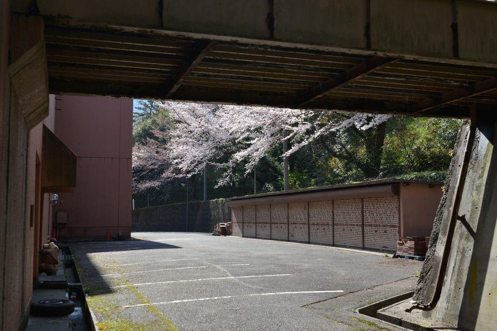 会館脇の桜-1