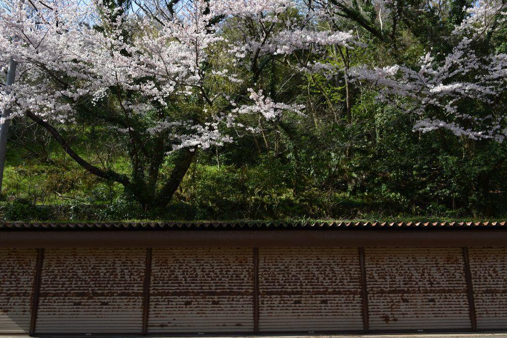 会館脇の桜-2