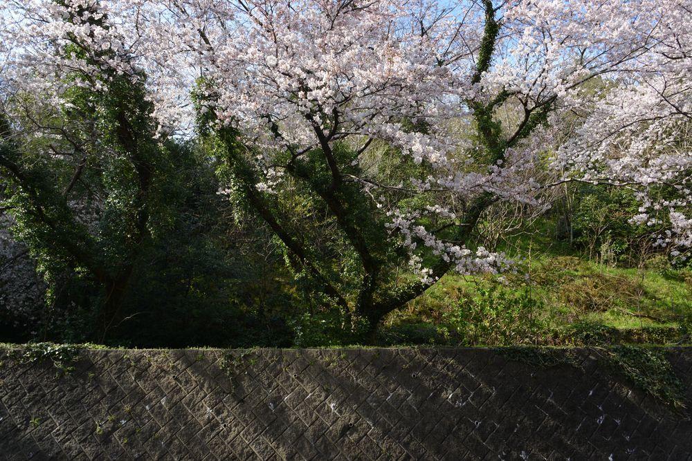 会館脇の桜-4