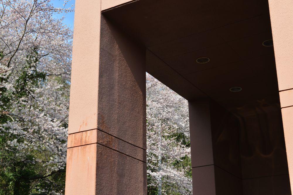 会館脇の桜-5