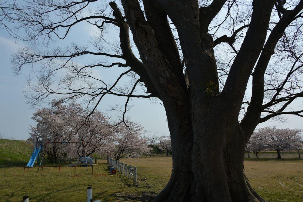 廃校の桜-2
