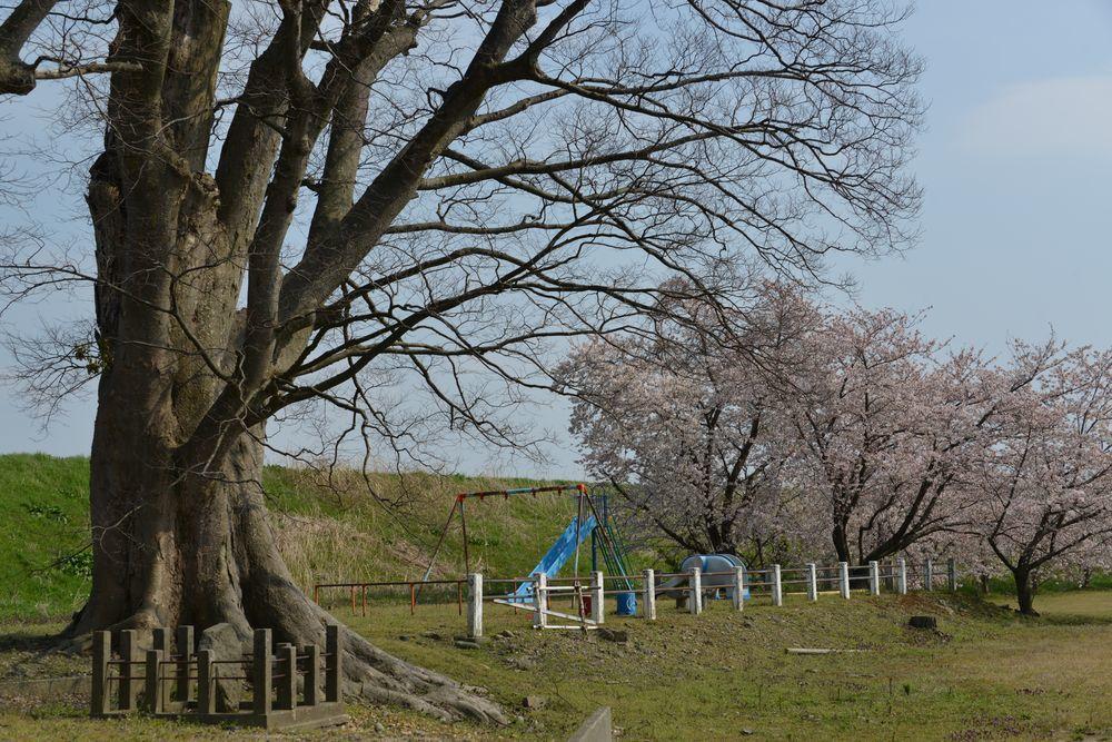 廃校の桜-1