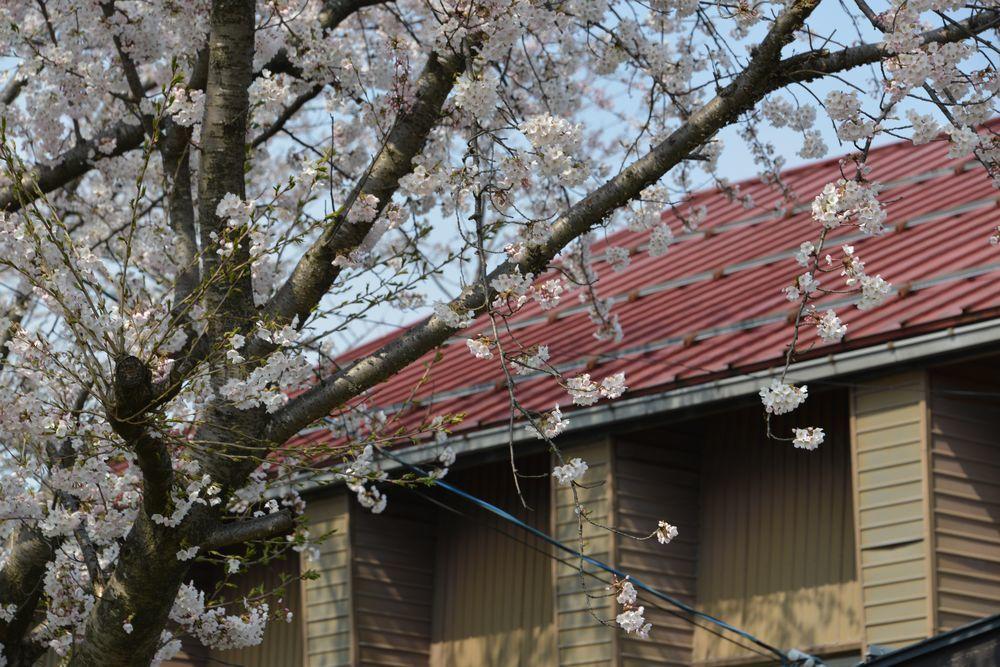 廃校の桜-3