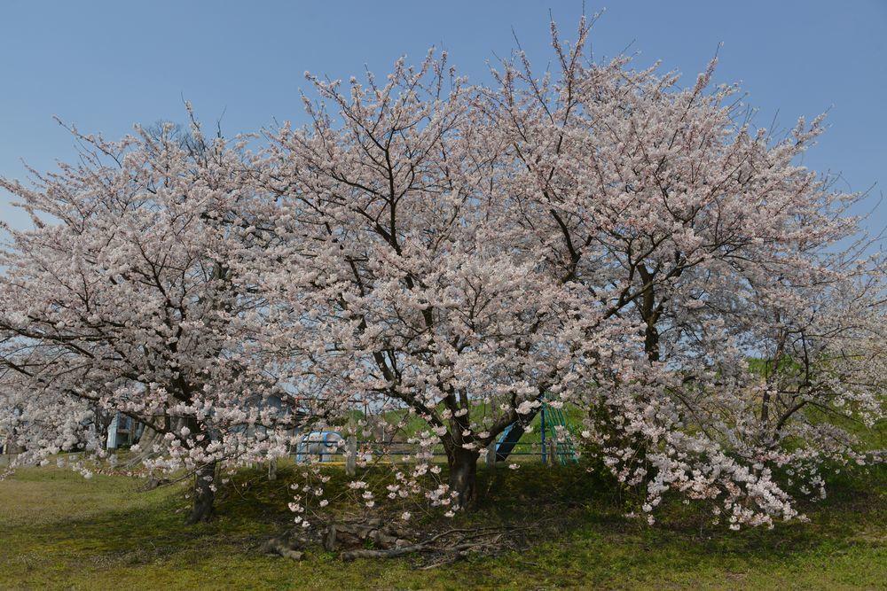 廃校の桜-4