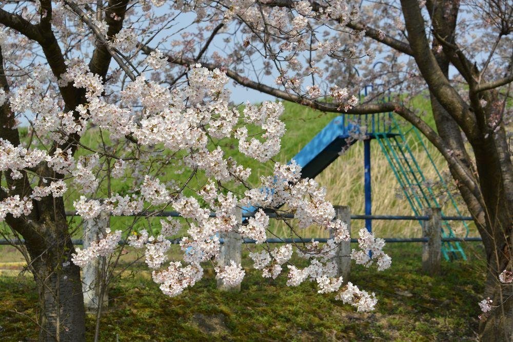 廃校の桜-6
