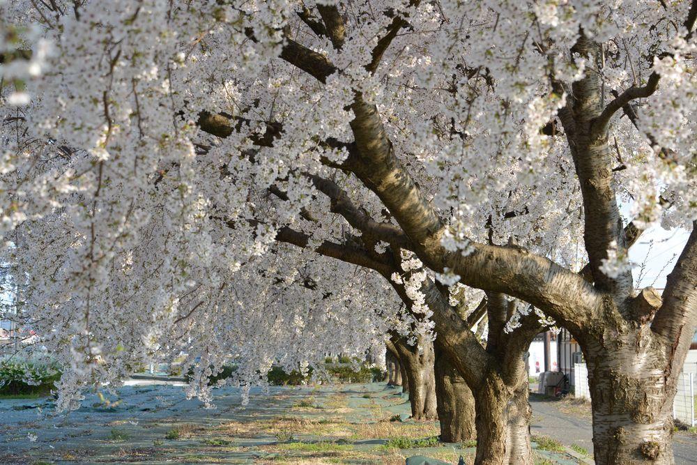 桜並木-2
