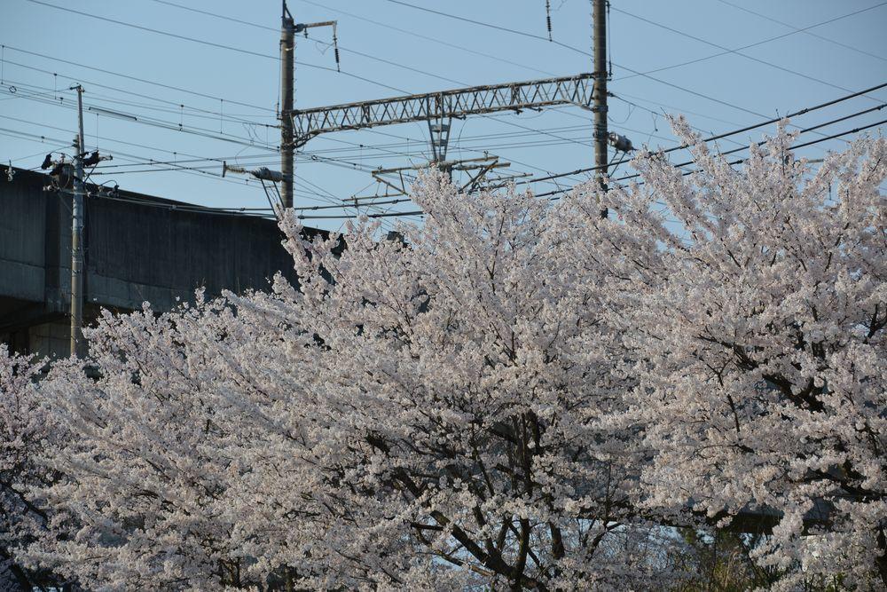 桜並木-5