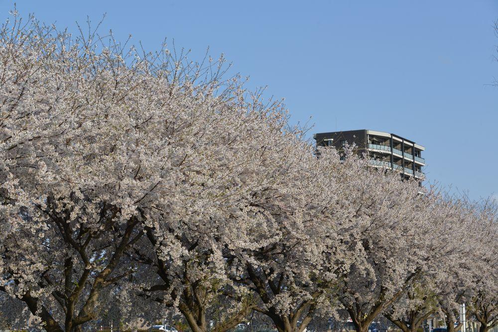 桜並木-6