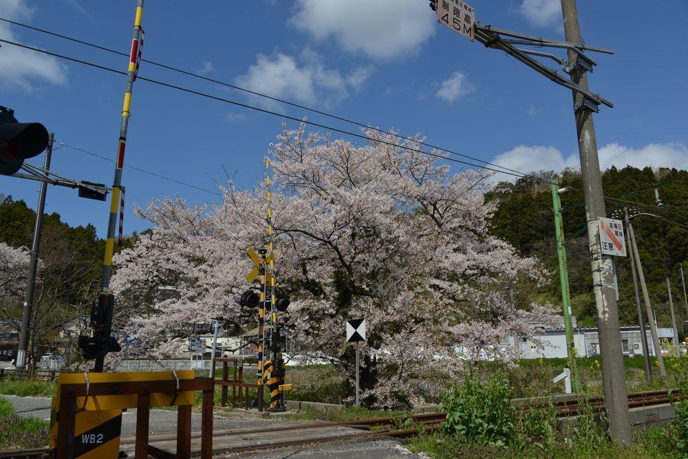 桜と駅と踏み切り-4