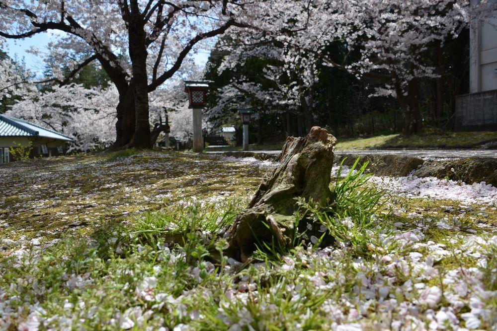 桜散る-3