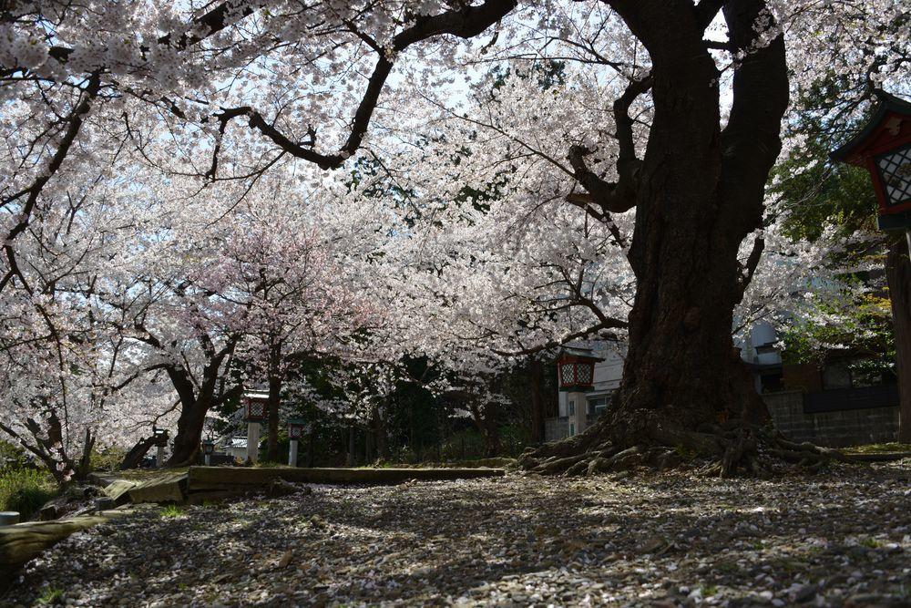 桜散る-4