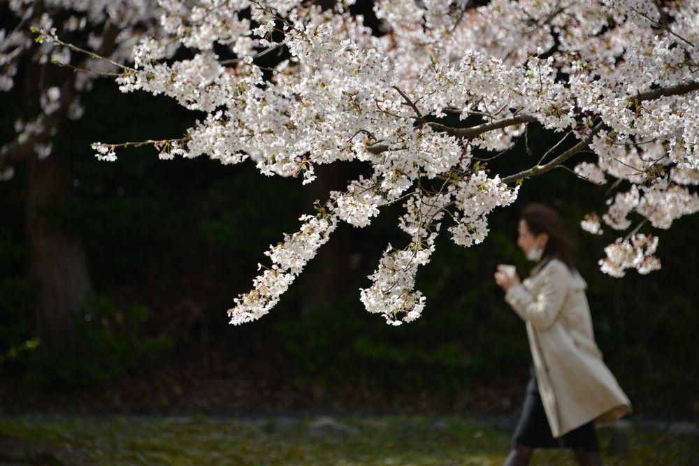 桜散る-6