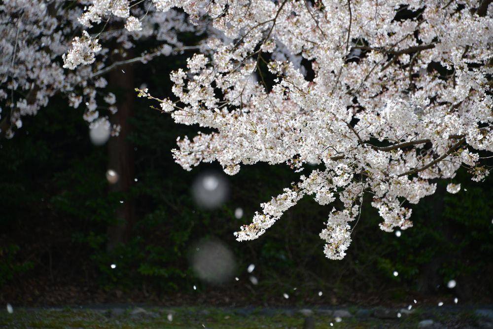 桜散る-7