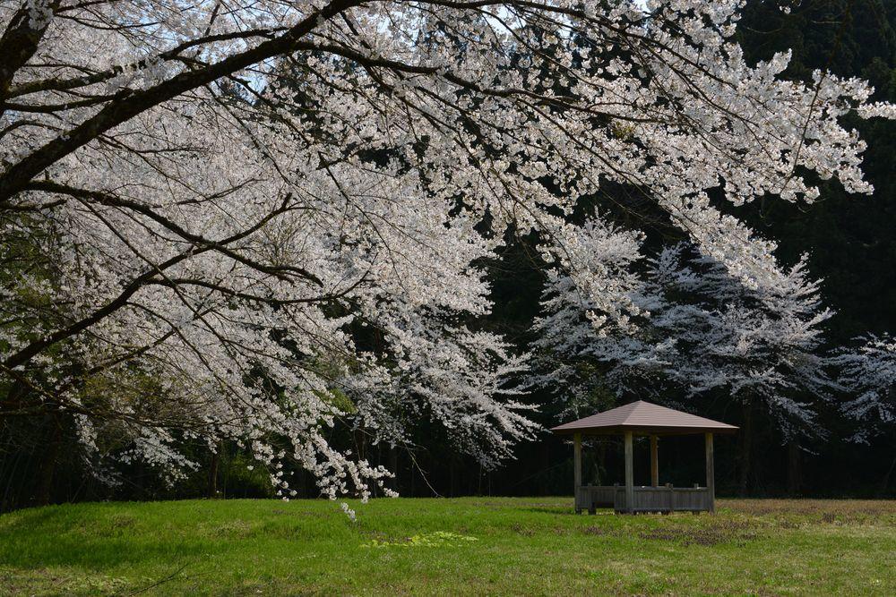 升箕公園の桜-1