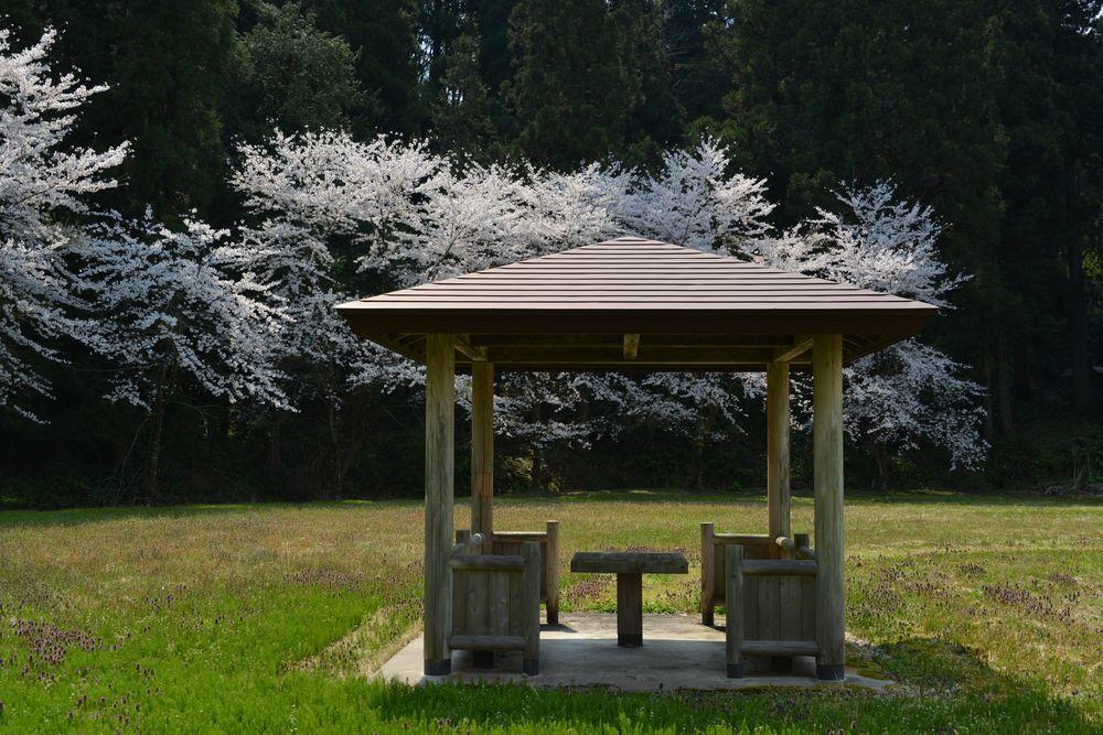 升箕公園の桜-2