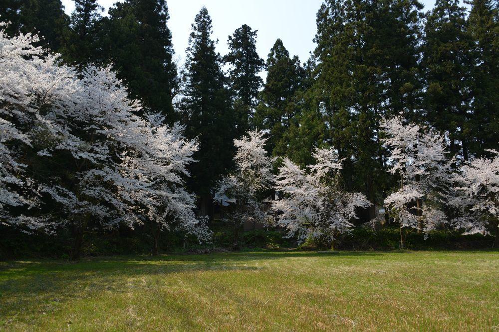 升箕公園の桜-6