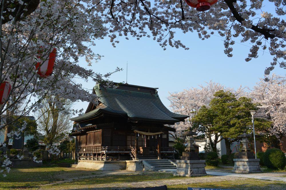 金山神社の桜-1