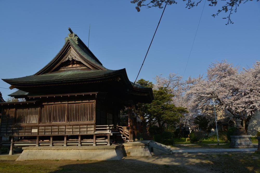 金山神社の桜-2